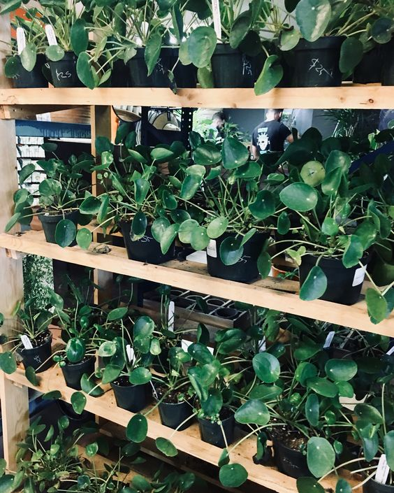 Pilea Peperomoides, one of Lauren's favorite plants (because they look like mini pancakes).