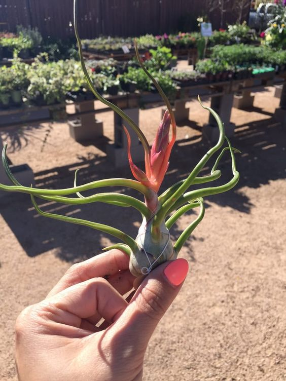 Phoenix Plant Nursery Air Plants