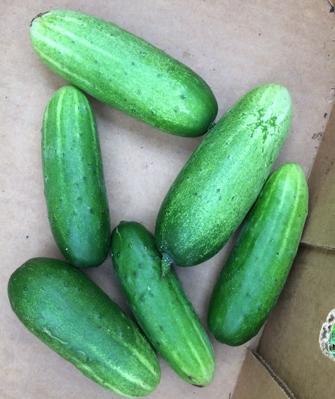 mini cucumbers.JPG