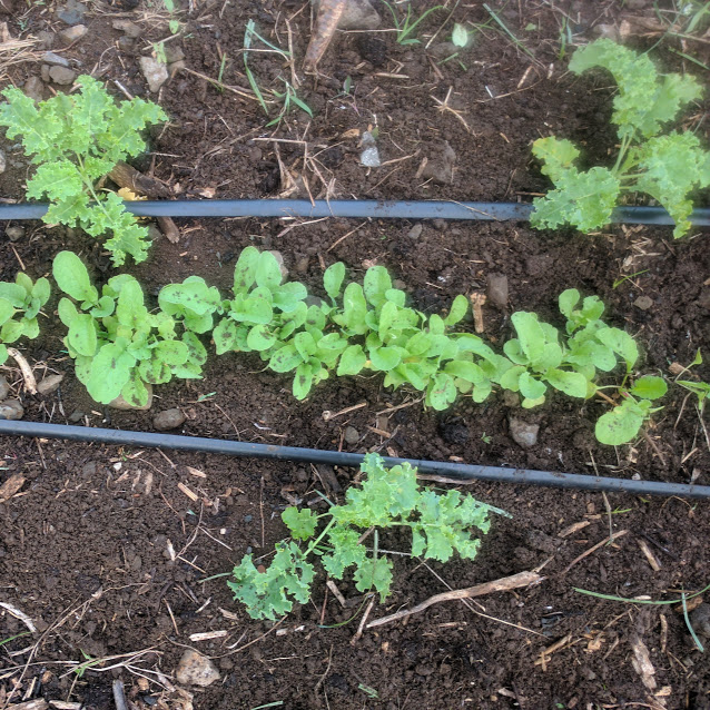 weeded kale.jpg