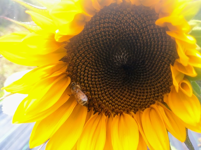 sunflower bee.jpg