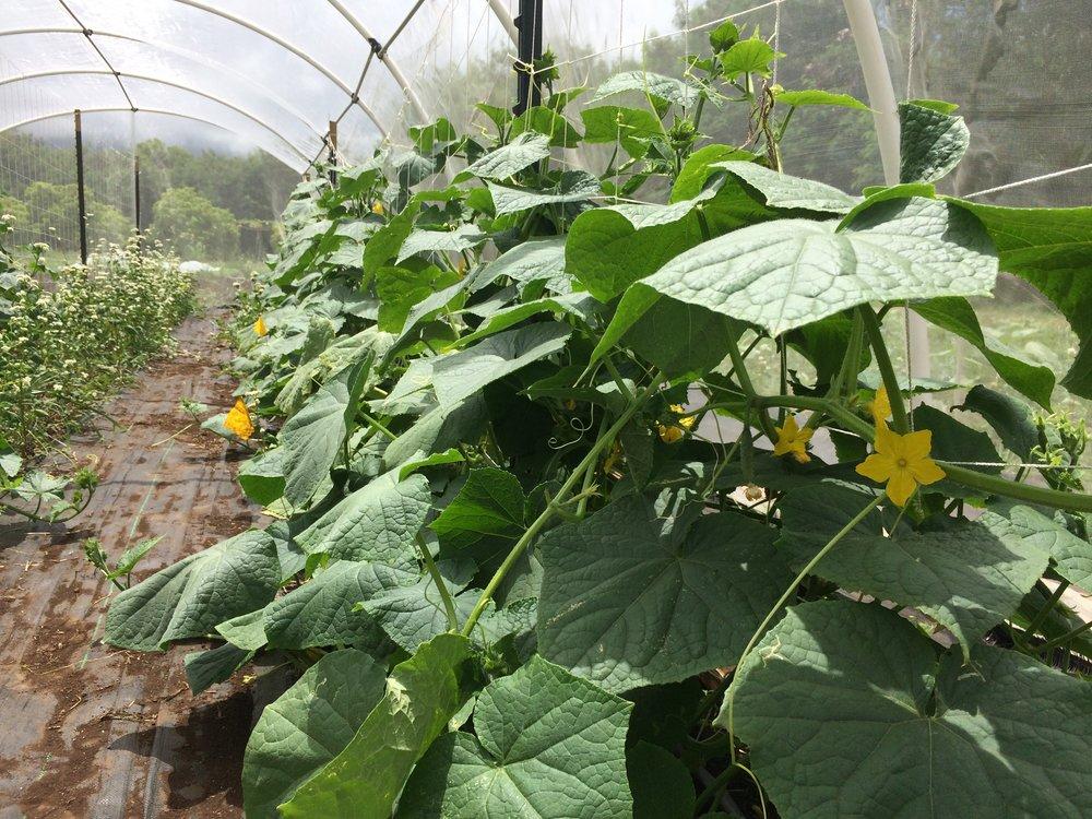 cucumber row.JPG