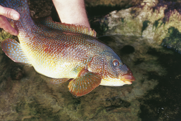 Putting%20wrasse%20back.jpg