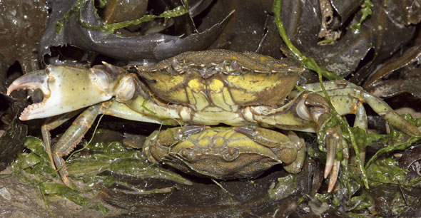 The female crab on the bottom is upside down below the male, meaning she has peeled, is a softie or crinkleback, and is mating