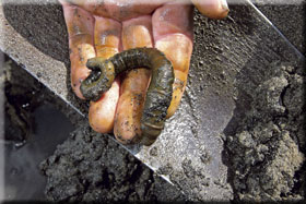 4. Dig the worm out in one go if possible; if it's difficult to find the tail you may have to search with your hand