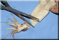2. First step when preparing your squid bait is to cut off the head using a pair of scissors or a sharp knife