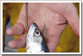 4. Hook the fresh mackerel bait through the jaw and head