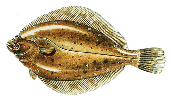 Know your flatfish species with our identification guide ...