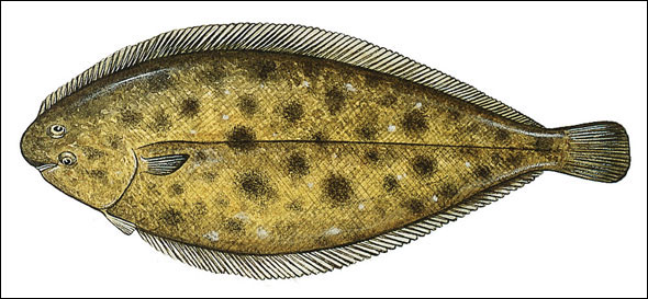dover-sole.jpg