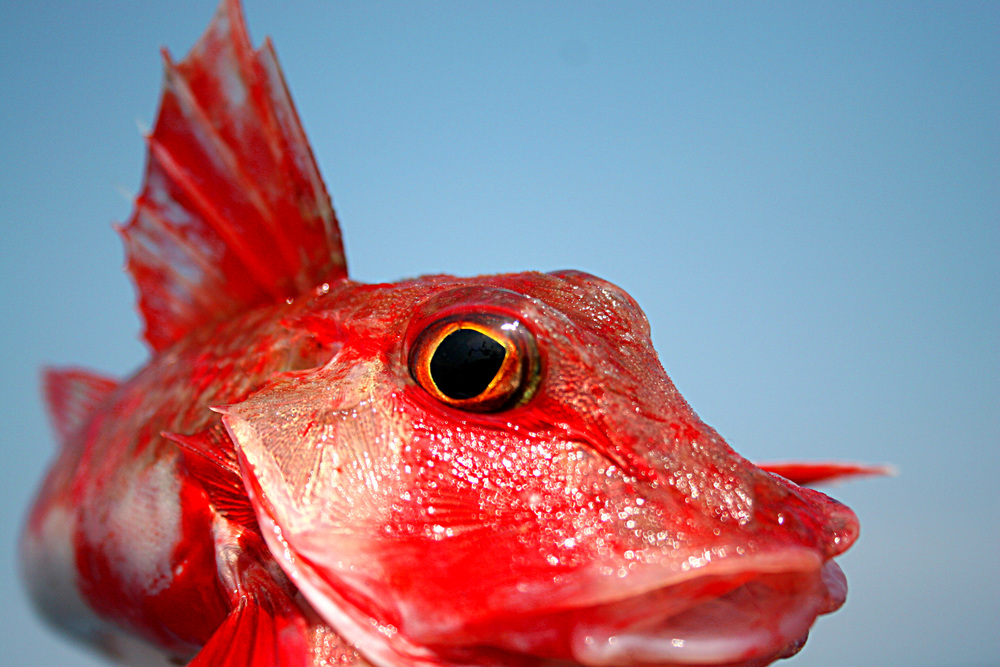 Red%20Gurnard.JPG