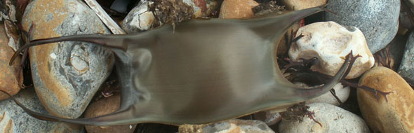 Undulate-ray-eggcase.jpg