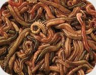 lugworms.jpg