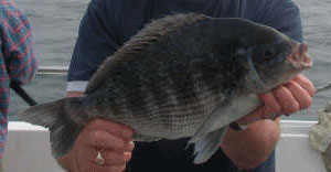 black-sea-bream.jpg