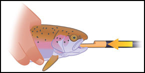 1. Grip the fish firmly with one hand and gently slide the spoon into the trout's mouth until you feel the resistance of its stomach.