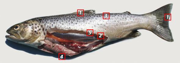 wild-brown-trout.jpg