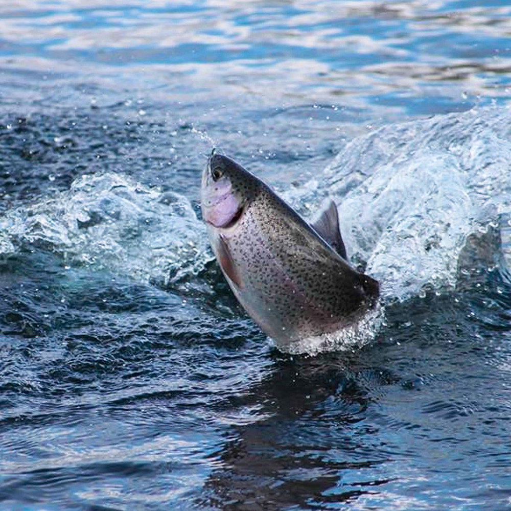 A leaping fish when being played is a sight to behold