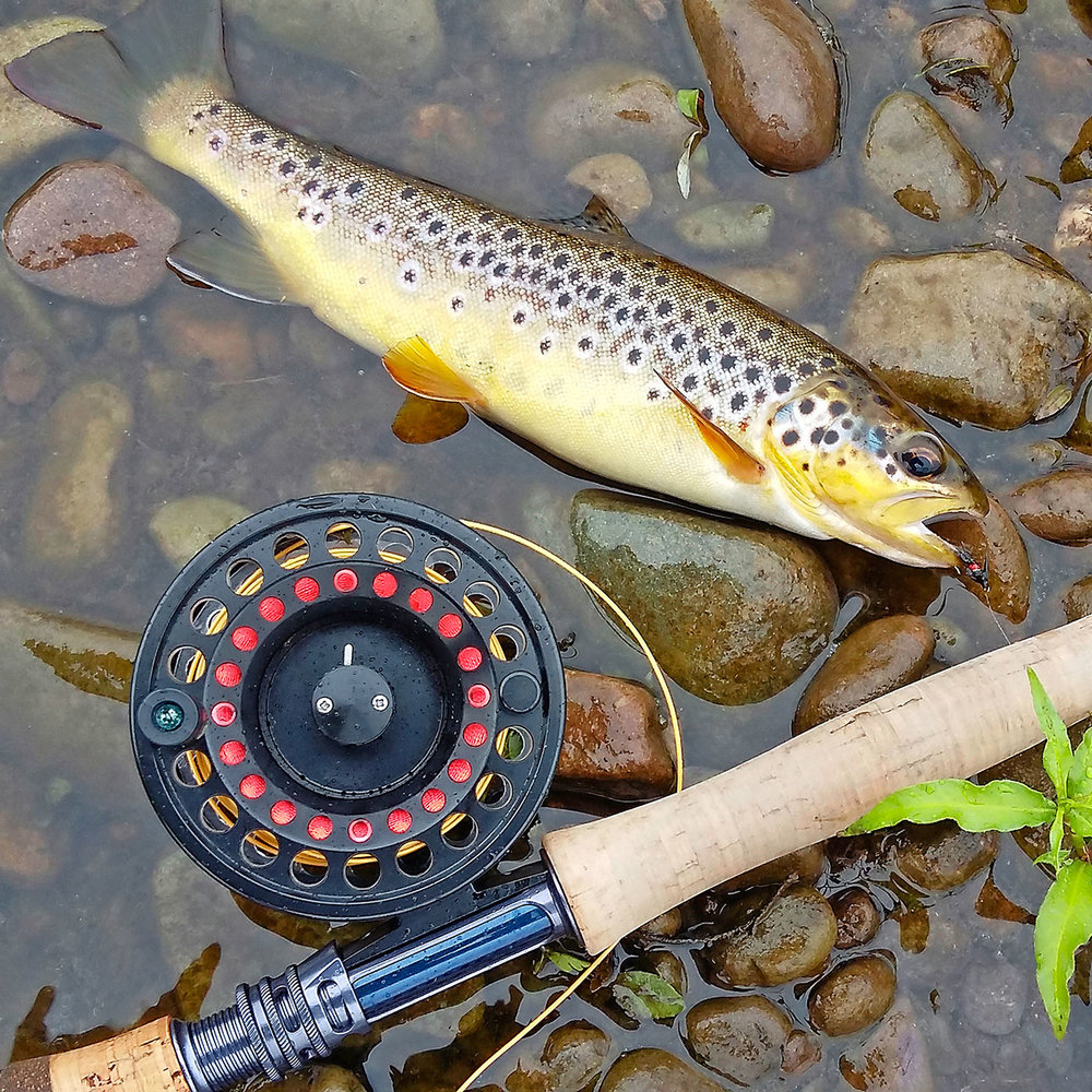 A brown trout caught and returned to the River Laune in Co Kerry