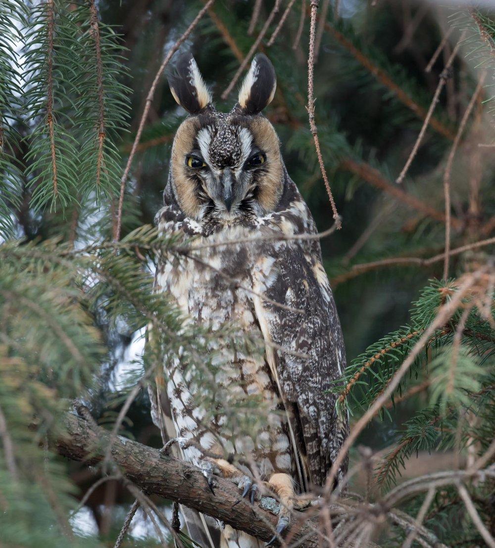Long-eared_Owl_AF9A8226.jpg