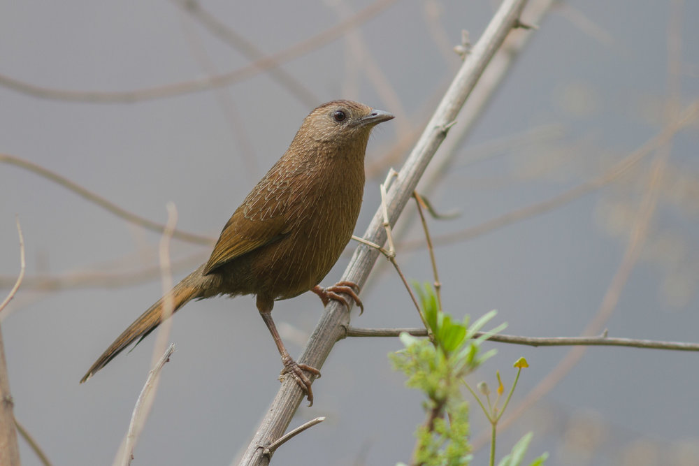 Bhutan Laughtingthrush