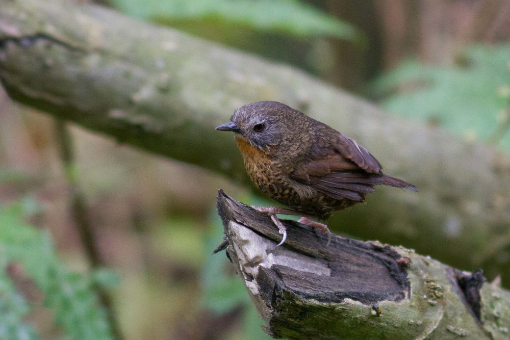 Rufous-throated Wren-Babbler
