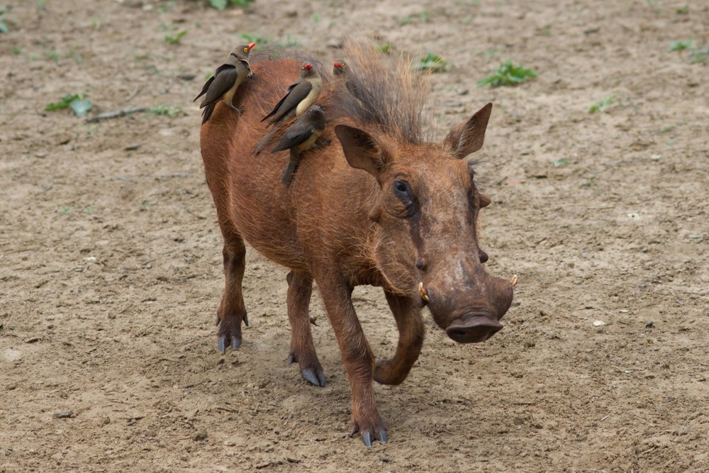 Warthog with Red-billed Oxpeckers