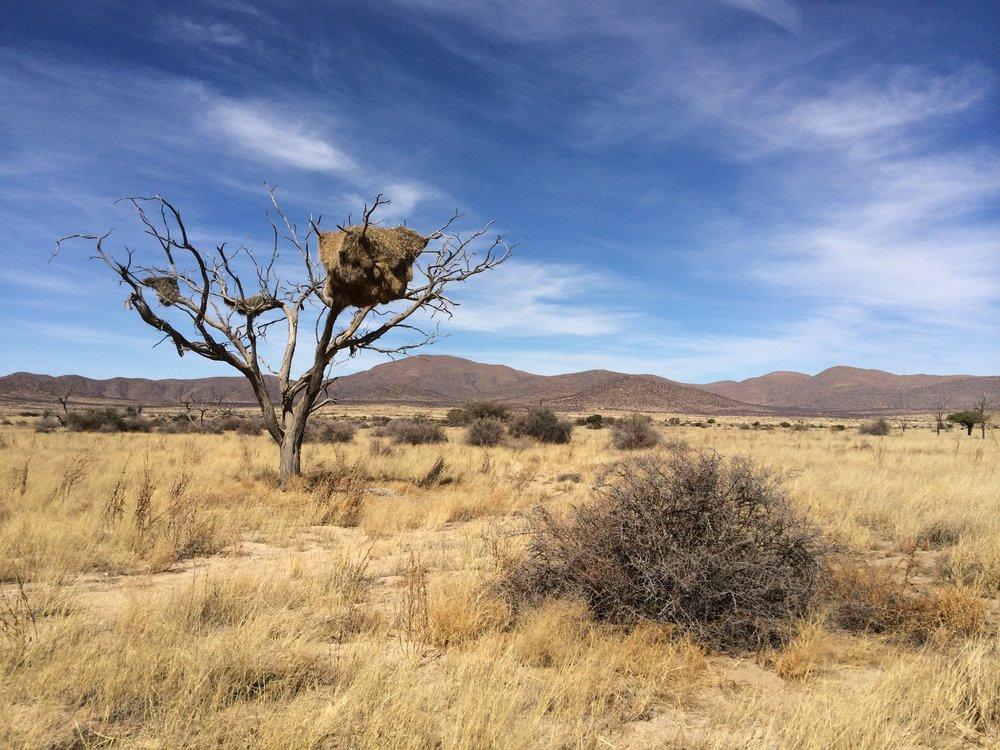 Sociable Weaver nest in the Namib Desert