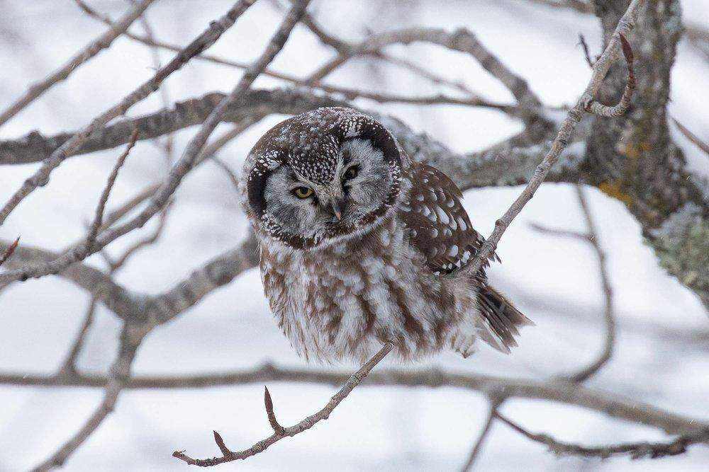 Boreal_Owl_AF9A1459.jpg