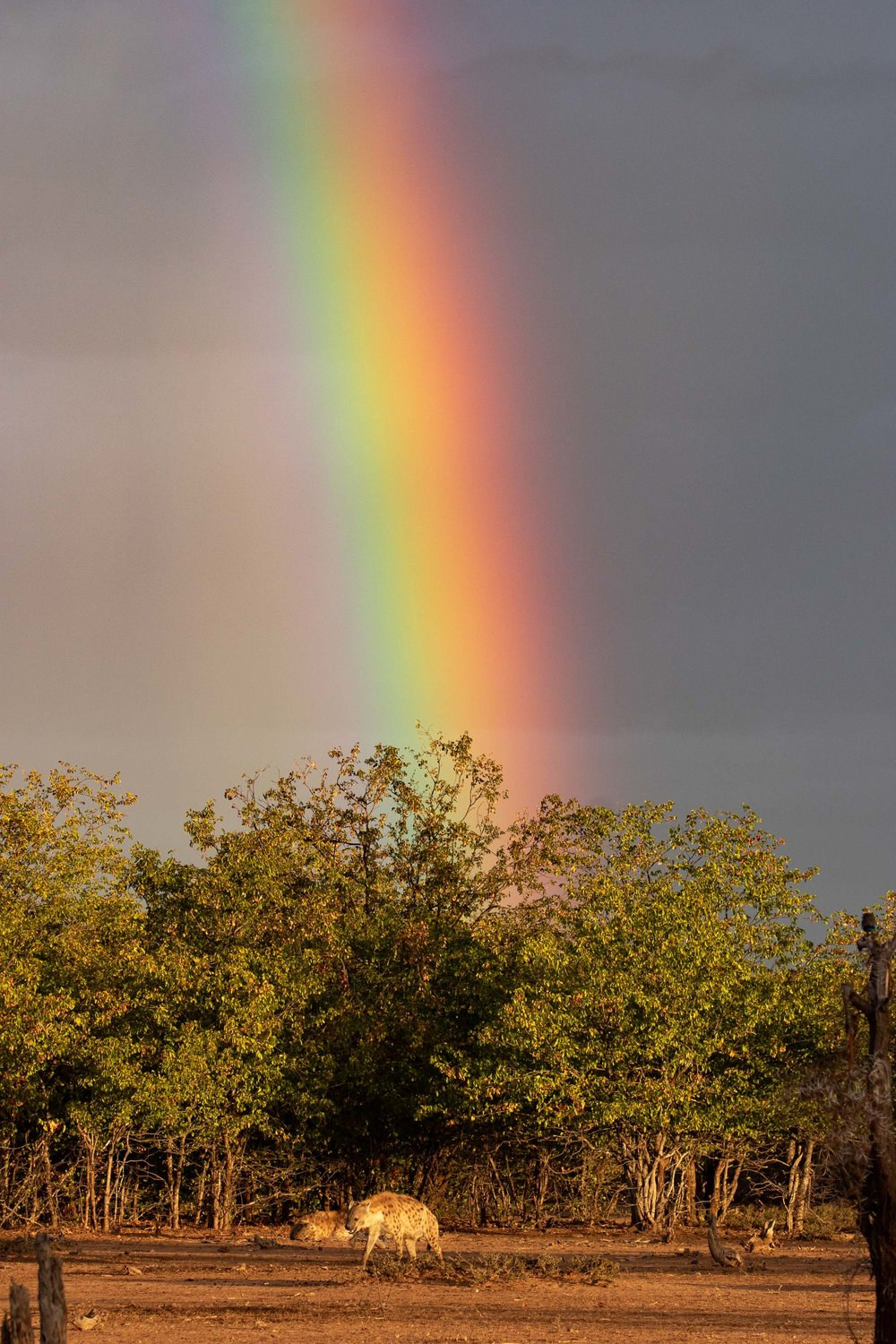 One of many unforgettable moments from the trip: Spotted Hyena pot o' gold at the end of a glorious rainbow,.