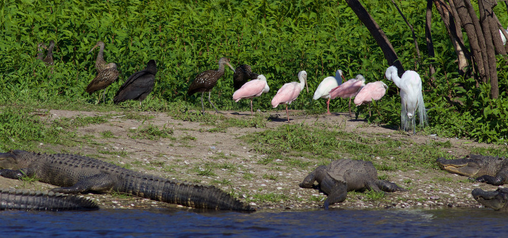 Black Vultures, Limpkins, Roseate Spoonbills, Great Egret, and American Alligators
