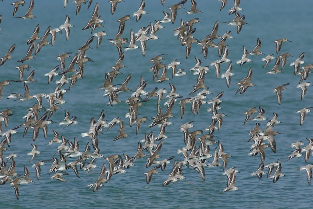 Mixed flock of shorebirds