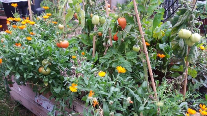 Tomato Pot Marigold Companion