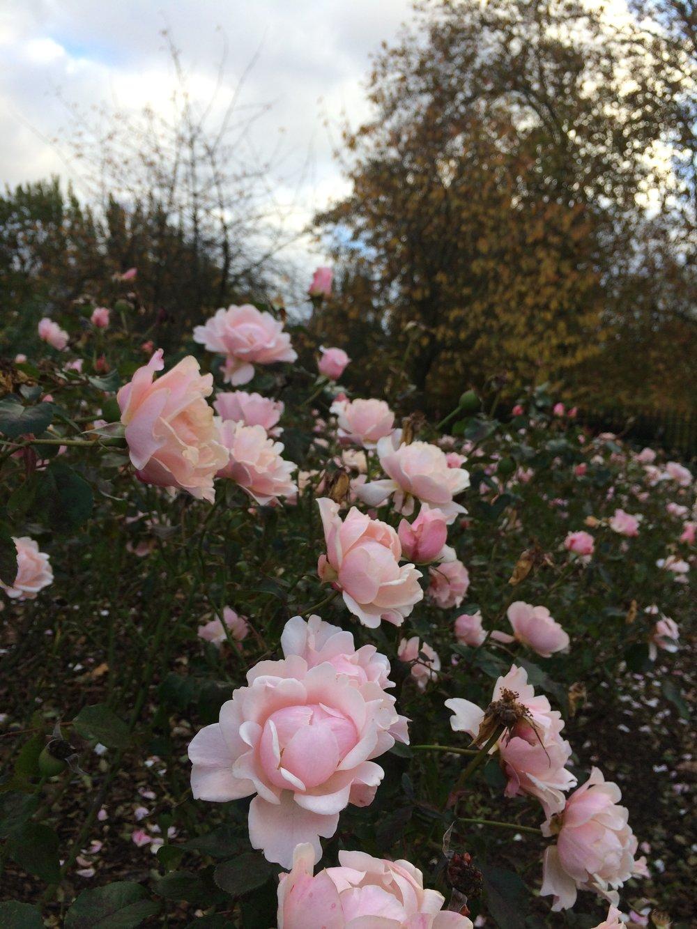 regents-park-primrose-hill-roses
