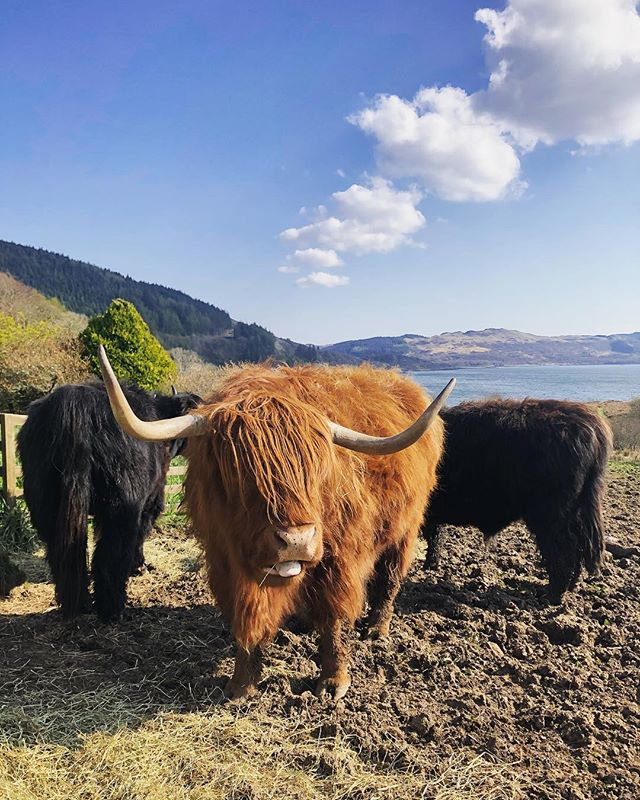 Making friends with Highland Cows is our new jam. These friendly bulls can be found near Arduaine, Oban. We love them! 🐮 • • • • • • • #cowsofinstagram #cows #highlandcowsofinstagram #highlandcow #scotland #argyleandbute #scotland_insta #nature #scottishscenery #naturephotography #wildlifephotography #scotland_ig #visitscotland