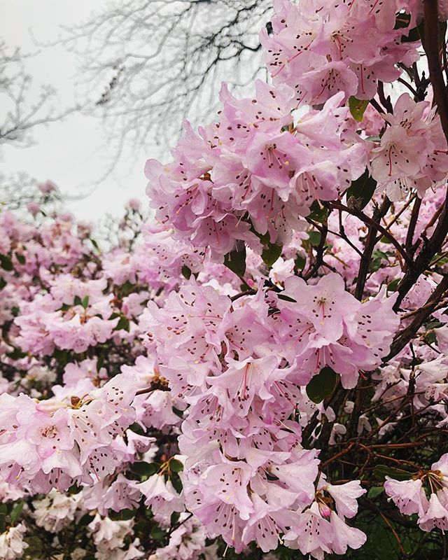 Still enjoying the #blossom season. Soon it will all be green but for now we're enjoying the pink 💕 • • • • • • . #noticenature #lovenature #citylife #citywalk #winterspring #spring #springwatch #flowers #edinburgh #lovenature #happinessoutdoors #naturefix #natureaddict #explore #travel #getoutside #walkthewalk #wanderer #cityview #cityscape #seemycity #park #parklife #walking #mindfulness #lovewhereyoulive #itsprimupnorth