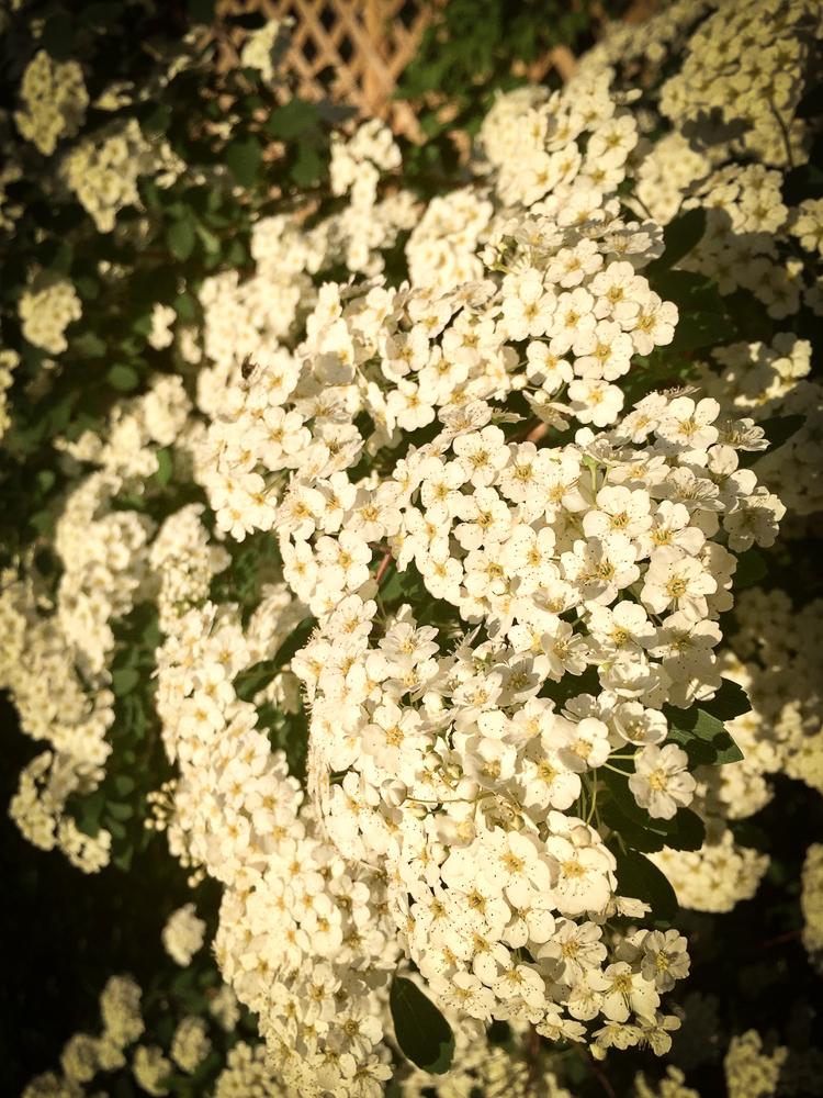 Linden & Lavender Flowers.jpg