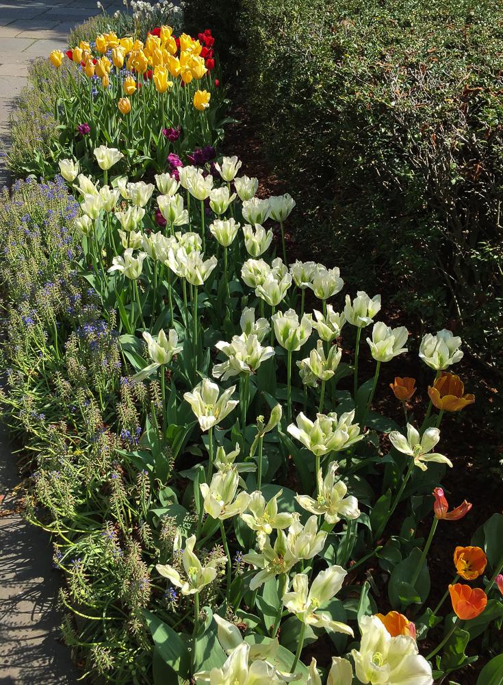 Tulips in Conservatory Gardens | Linden & Lavender