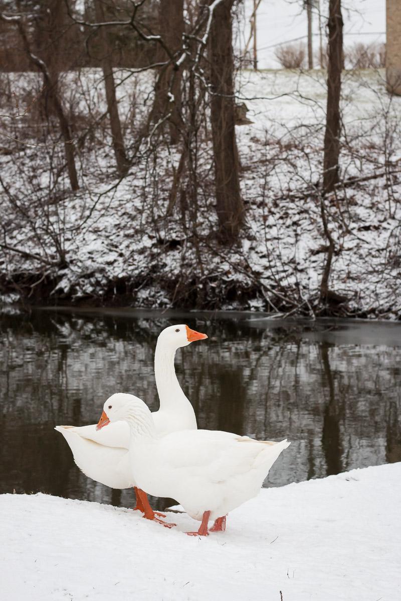 Mill Ducks | Linden & Lavender