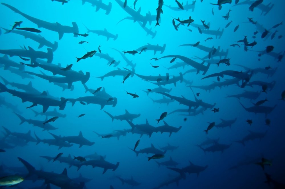 Hammerhead - Scalloped - Sharkbanz - Group