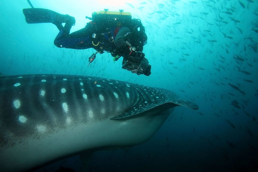 Whale Shark Sharkbanz Ocean Conservation