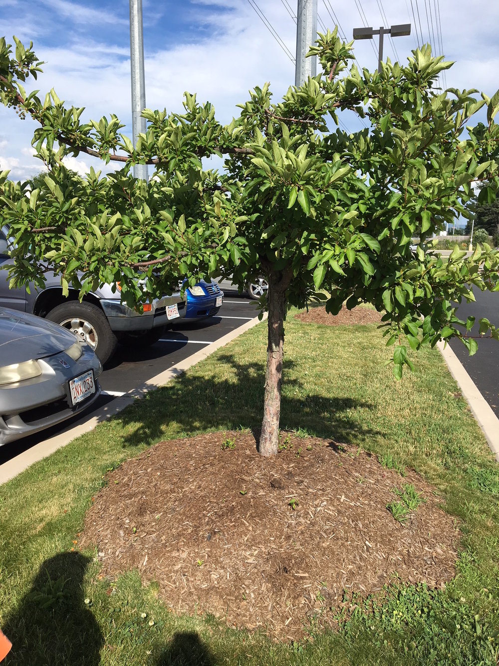 The Chicopee crabapple we previously dug out of the volcano mulch. Looks much better now (taken 2018), despite new volcano mulch added this spring.