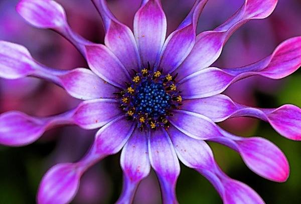 soprano-lilac-spoon-african-daisy-thomas-j-martin.jpg