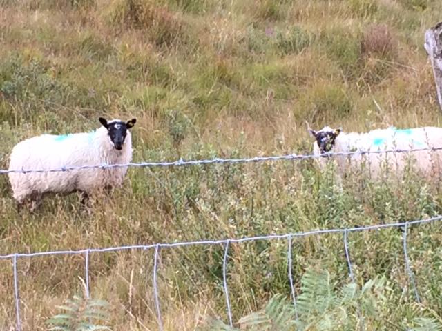 roadside sheep.JPG