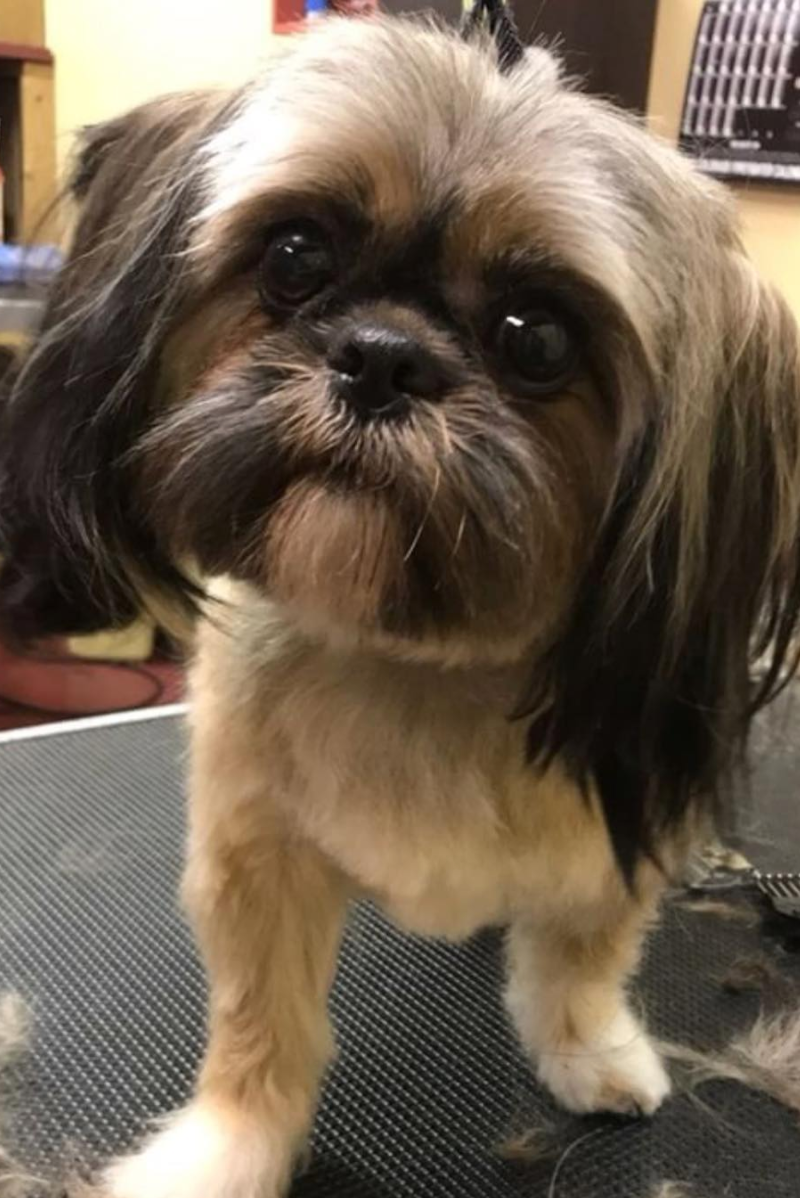 Max the Shihtzu.png