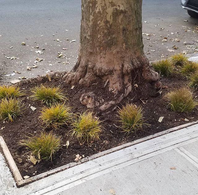Carex Street Tree Underplanting