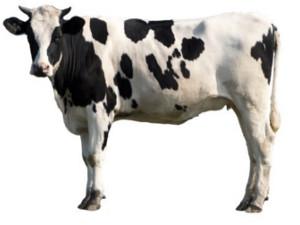 cowthumb.jpg