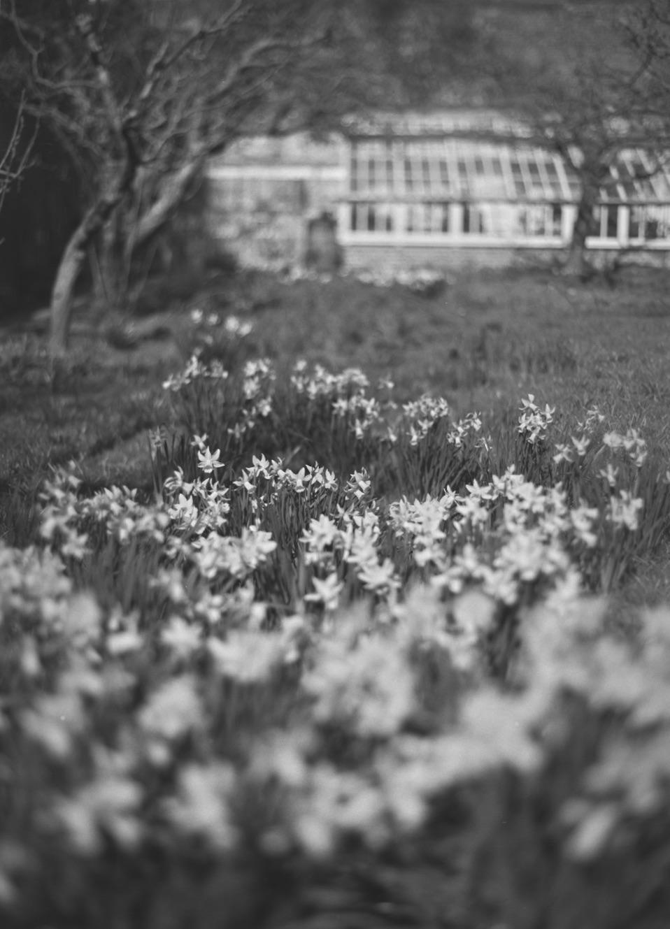 Daffodils-in-Fenton-House.jpg