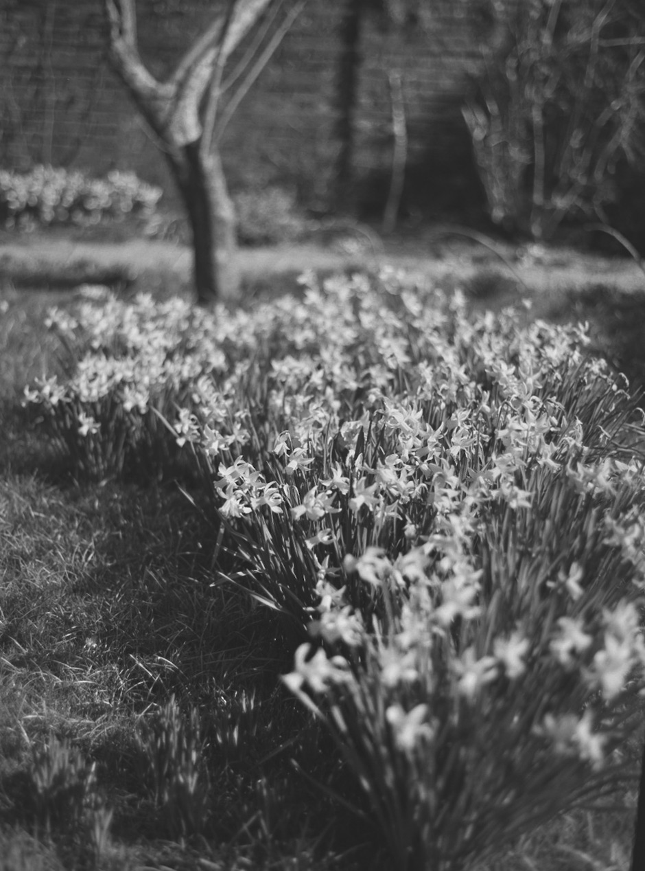 More-daffodils-in-Fenton-Hosue.jpg
