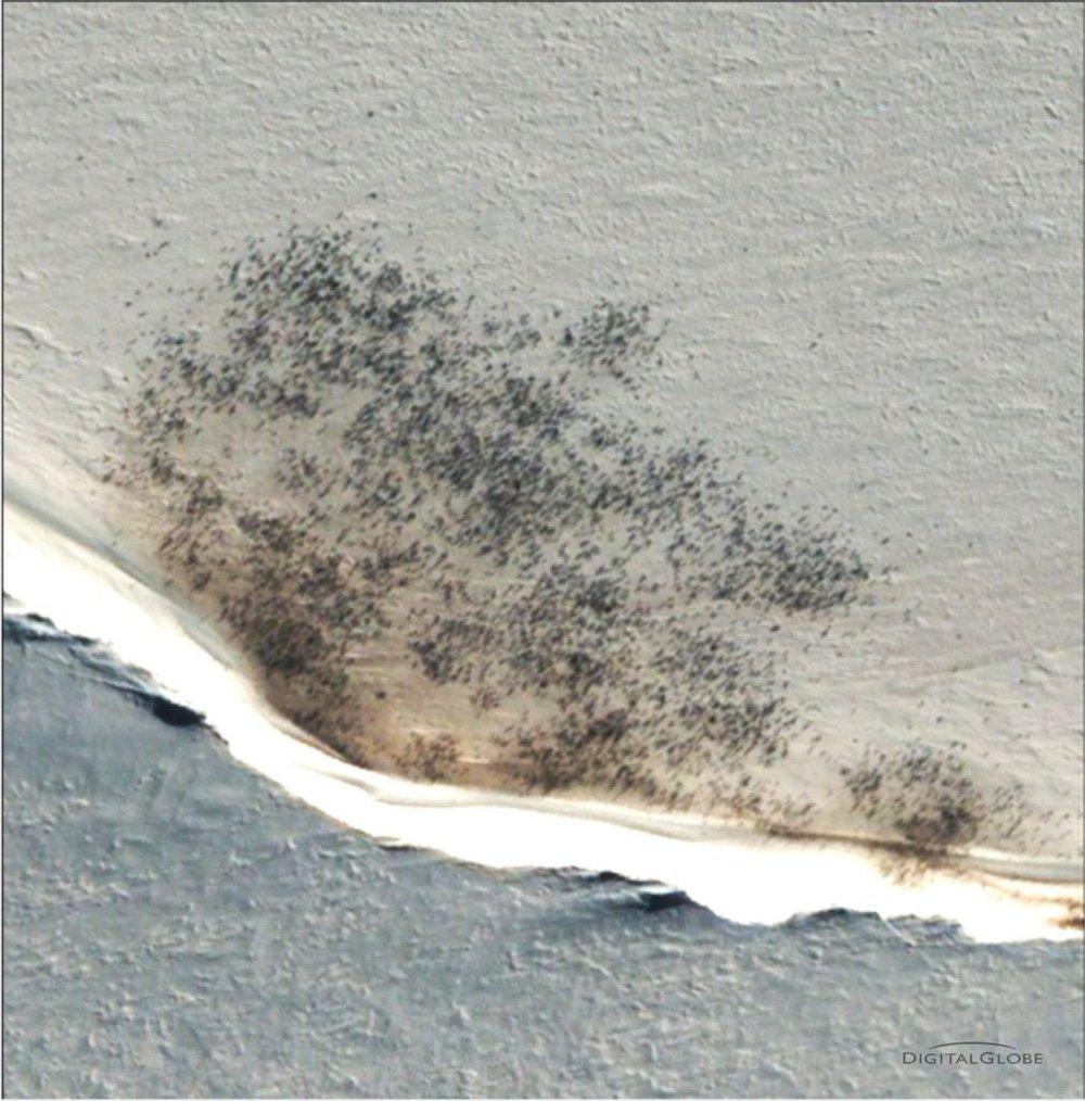 Antarctica emperor penguins via satellite - courtesy of DigitalGlobe