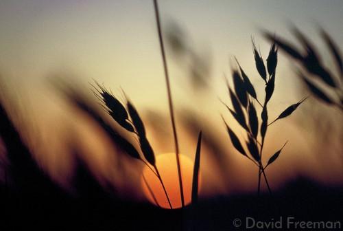 413 Sun Through the Wheat .jpg