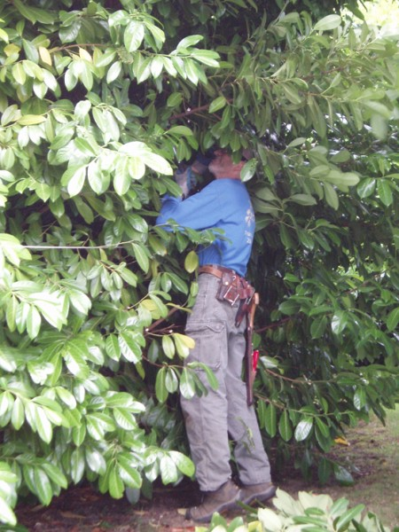 ARBORIZING AN ENGLISH LAUREL